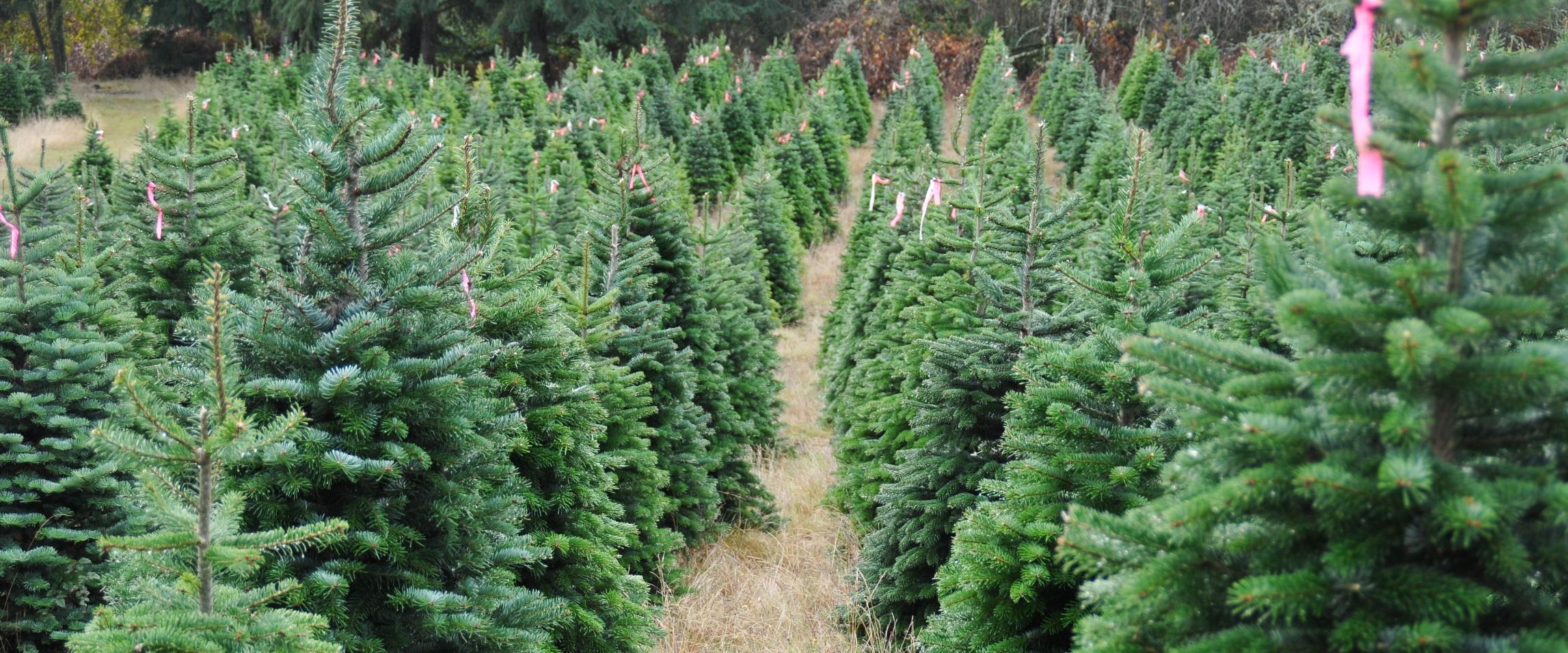 Kerstbomen 2016