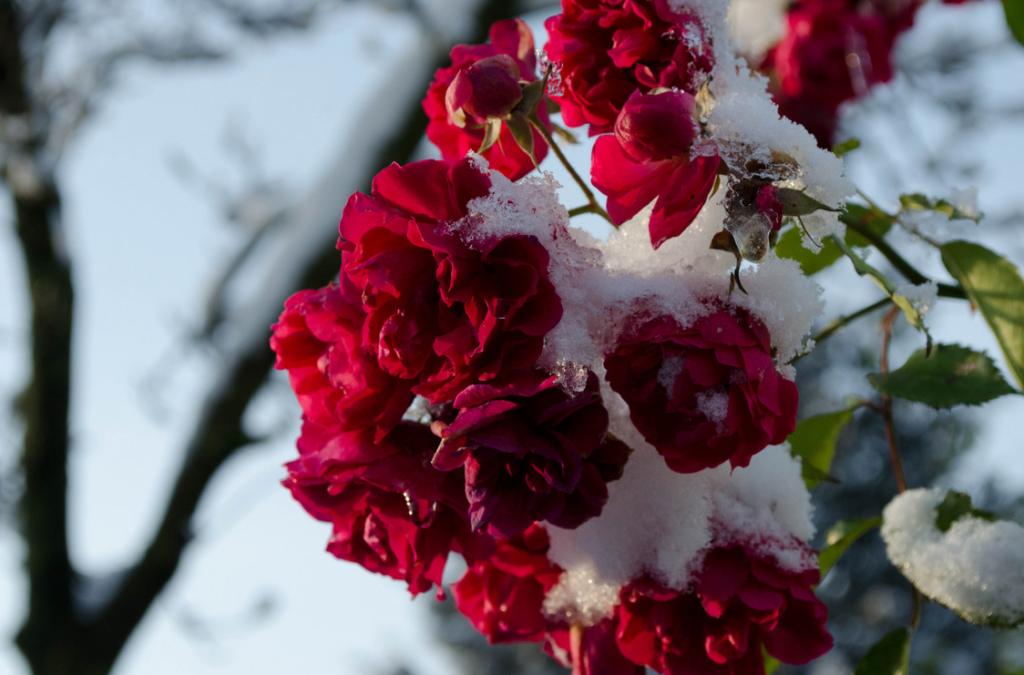 Rozen Sneeuw